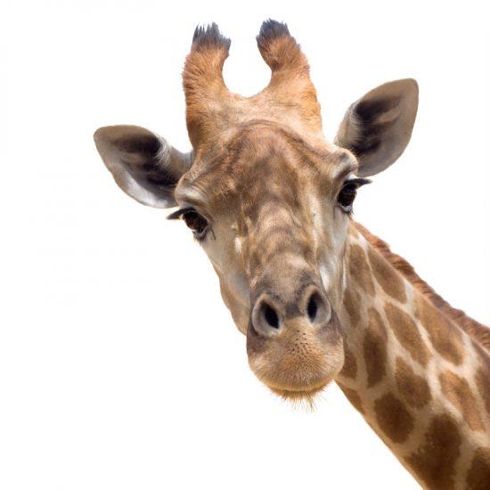 muursticker giraffe kinderkamer ideeen goedkoop verven muur bed jungle dieren inspiratie afrika sdaasd